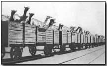 Camels enroute for Palestine via rail